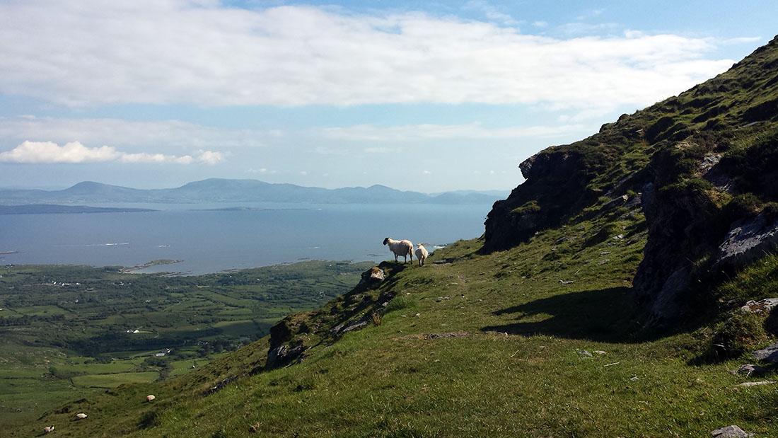 Schafe_Irland_Kerry_Fraeulein-Draussen