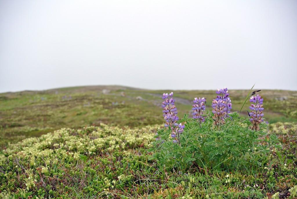 lila-blume-alaska_fraeulein-draussen