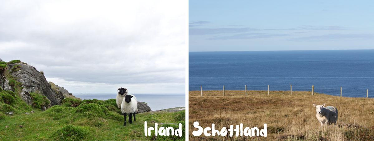 Irland-oder-schottland-schafe_fraeulein-draussen