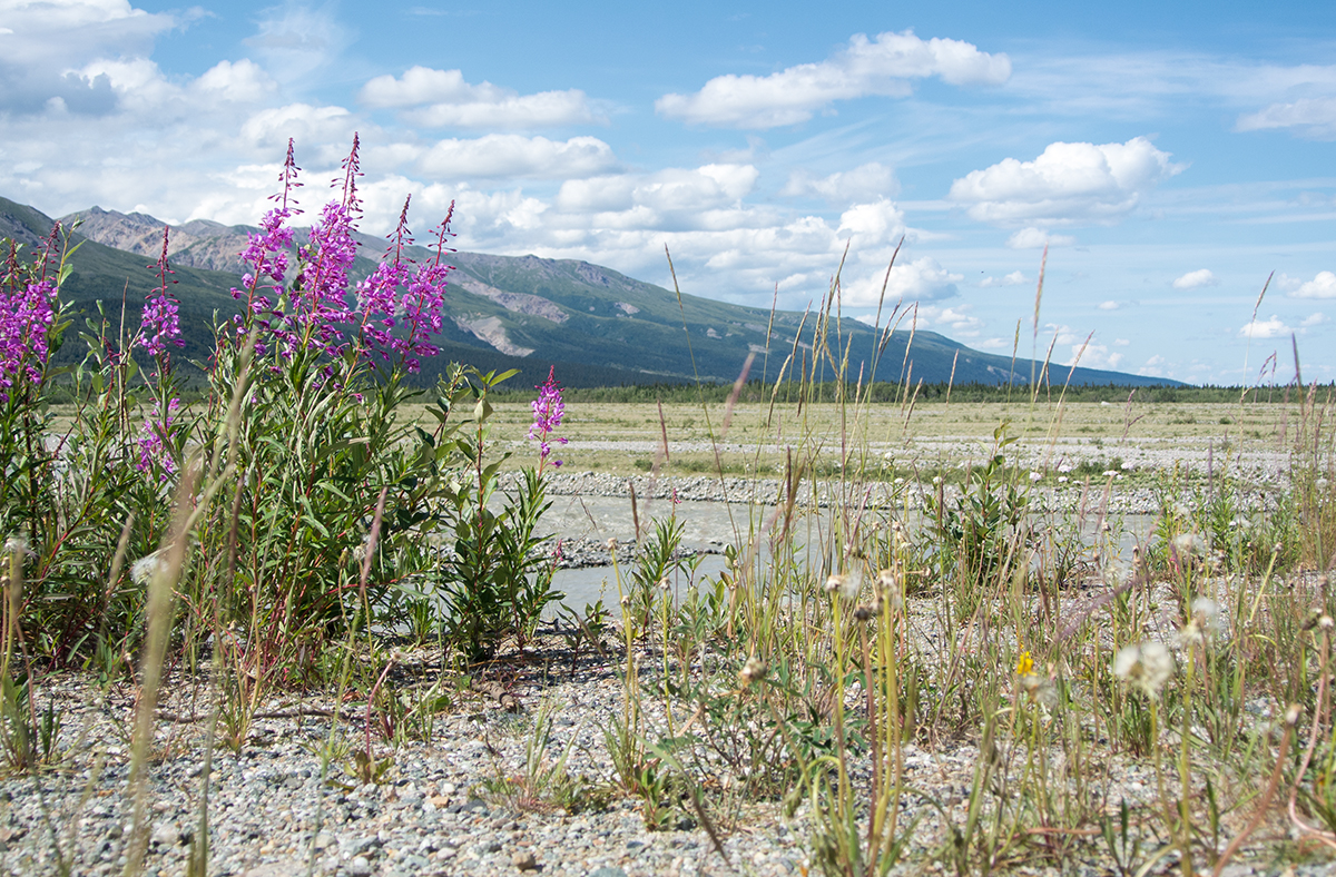 richardson-highway-alaska-fireweed_fraeulein-draussen