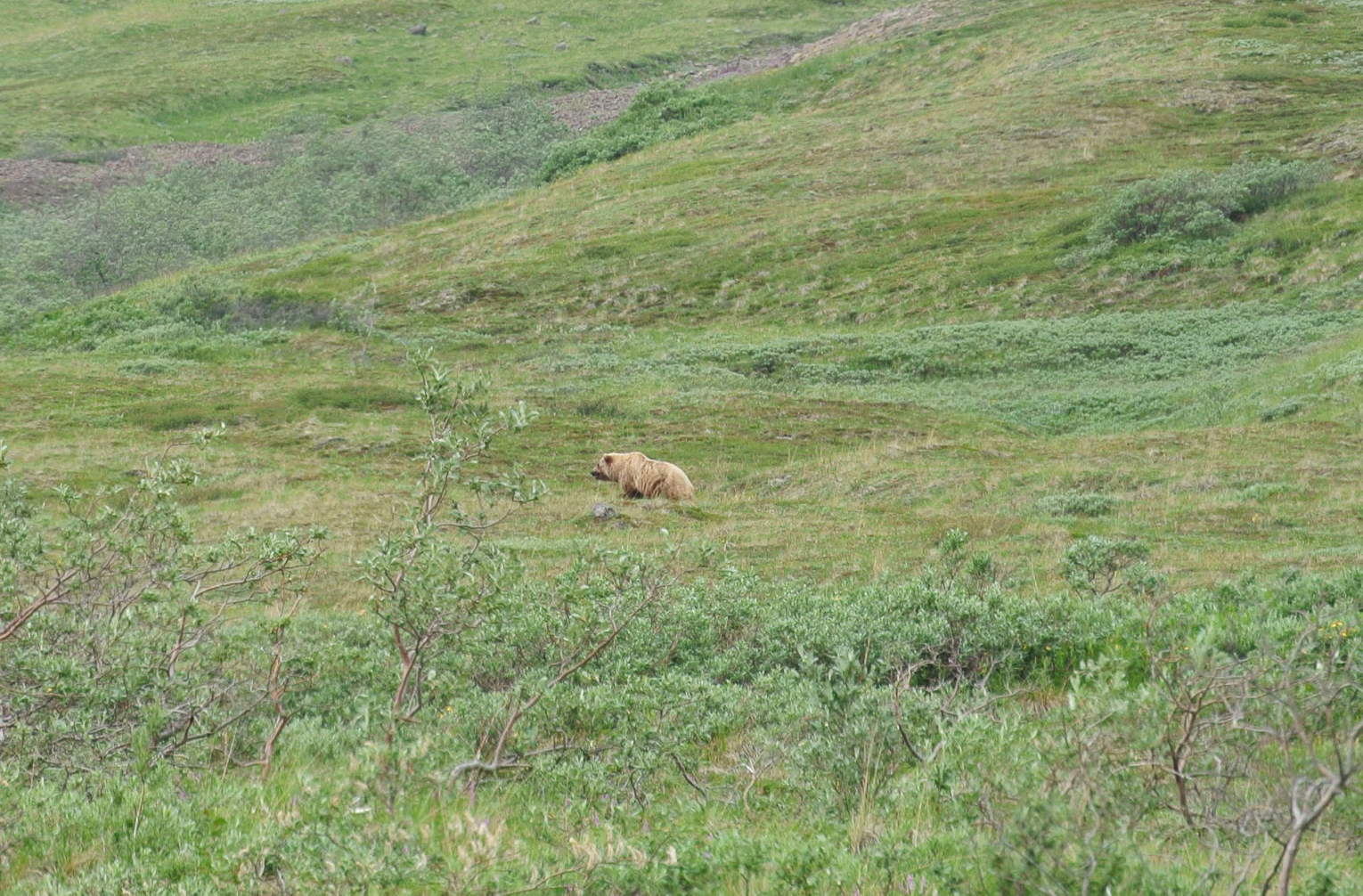 Grizzlybär im Denali Nationalpark