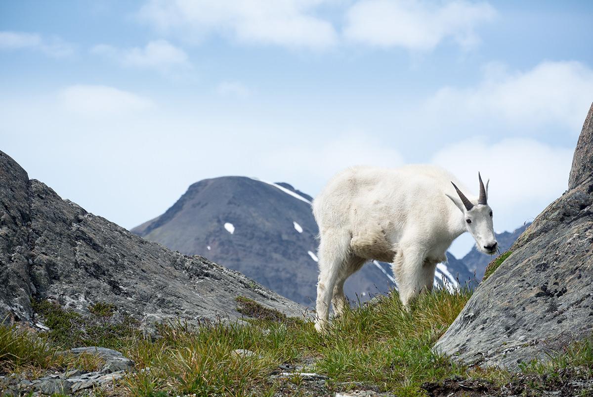 bergziege-am-harding-icefield-alaska_fraeulein-draussen