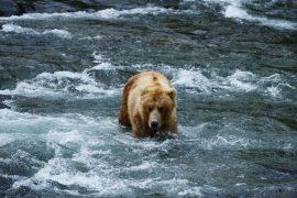 Allein unter Grizzlys – Wandern und Zelten in Bärengebieten