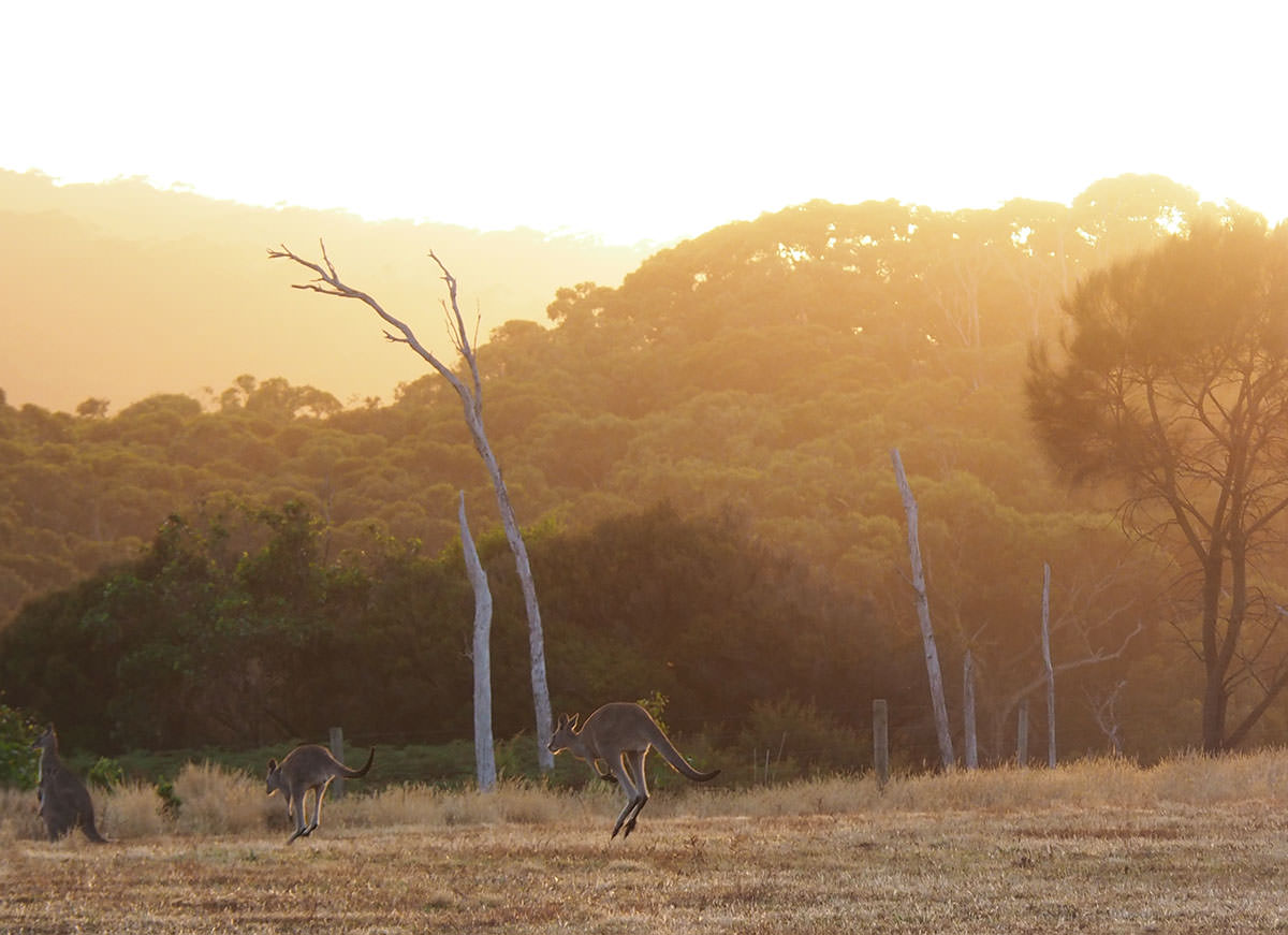 Känguruhs im Morgengrauen