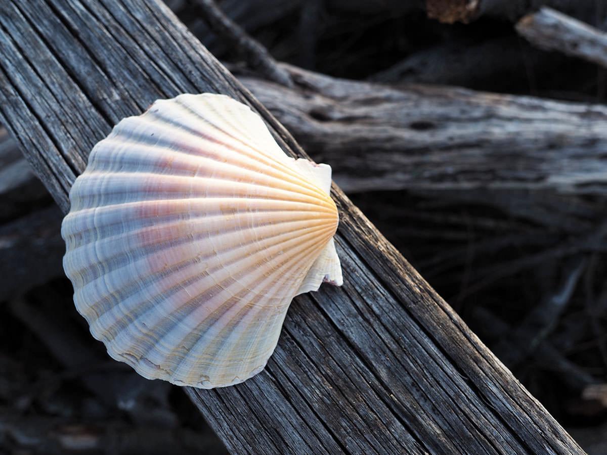 Große Muschel im Freycinet Nationalpark