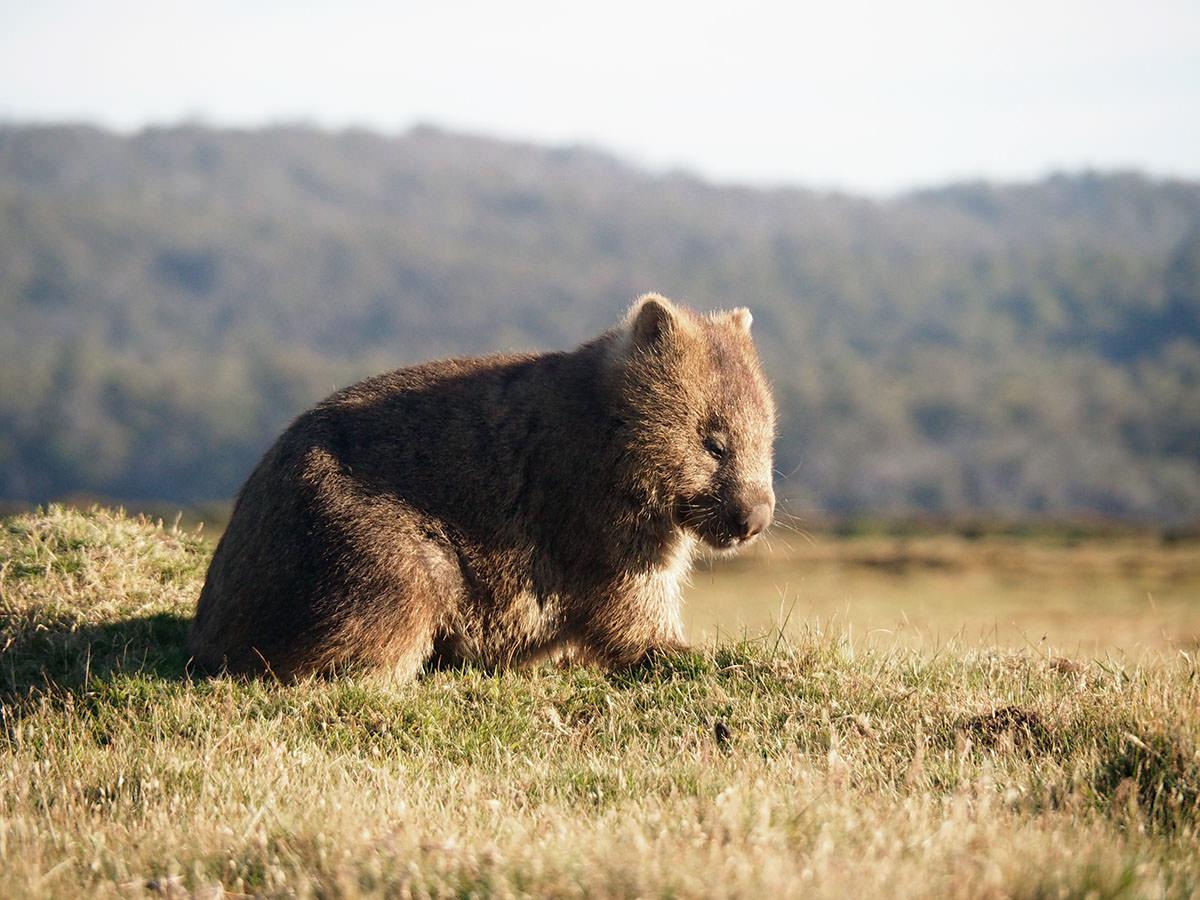 Ein Wombat im Narawntapu Nationalpark in Tasmanien