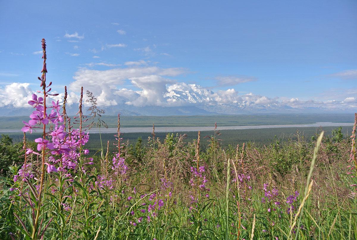 Fireweed und die Berge der Alaska Range