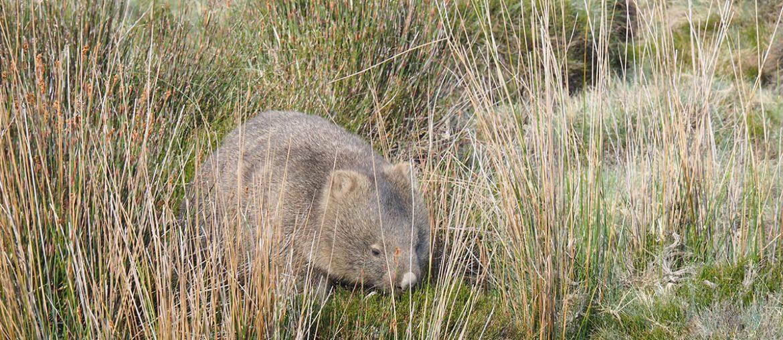Wombat im Cradle Mountain Nationalpark auf Tasmanien