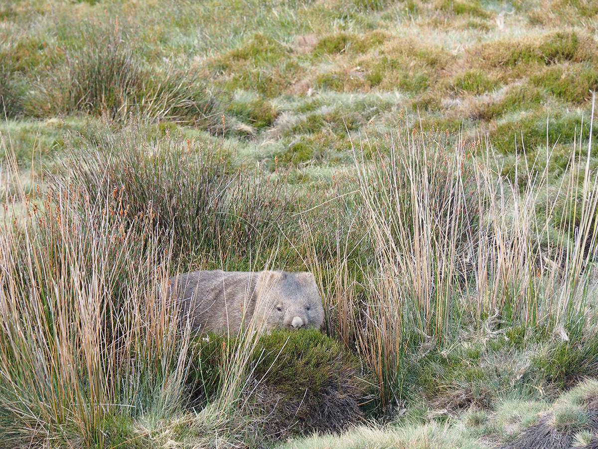 Wombat im Cradle Mountain Nationalpark auf Tasmanien