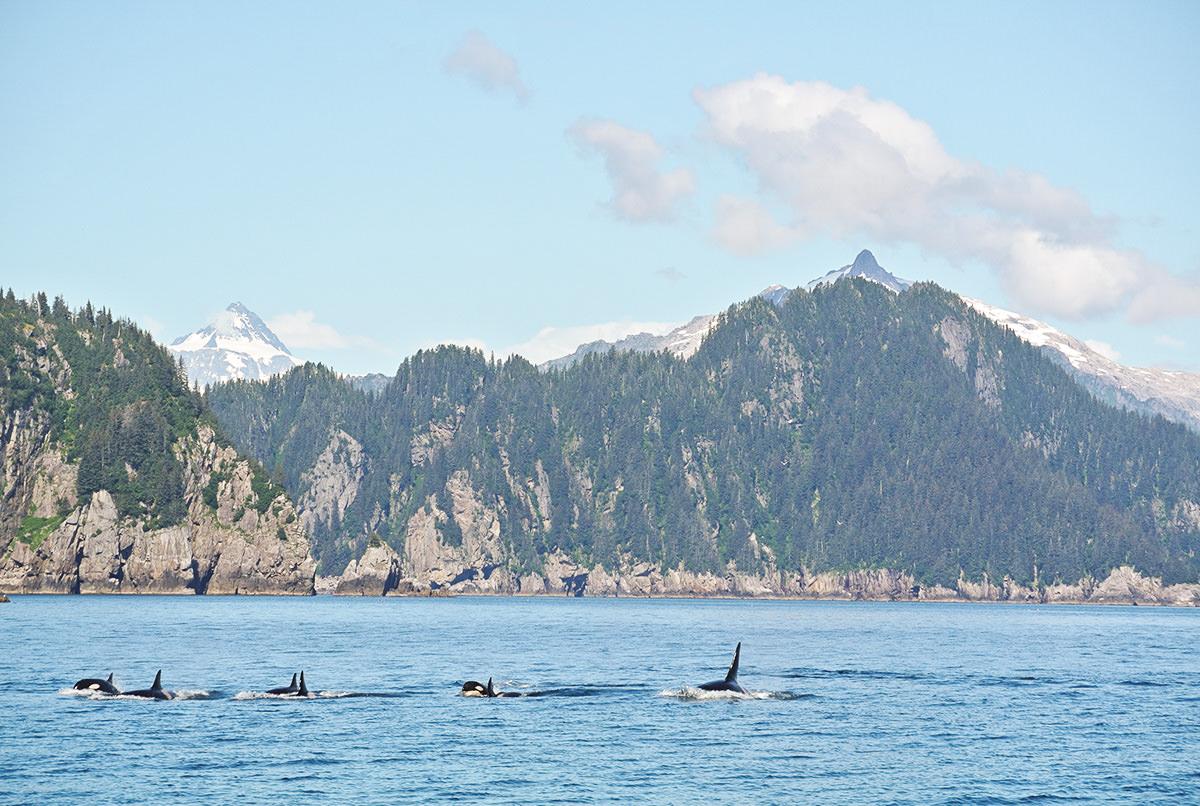 kenai-nationalpark-orcas
