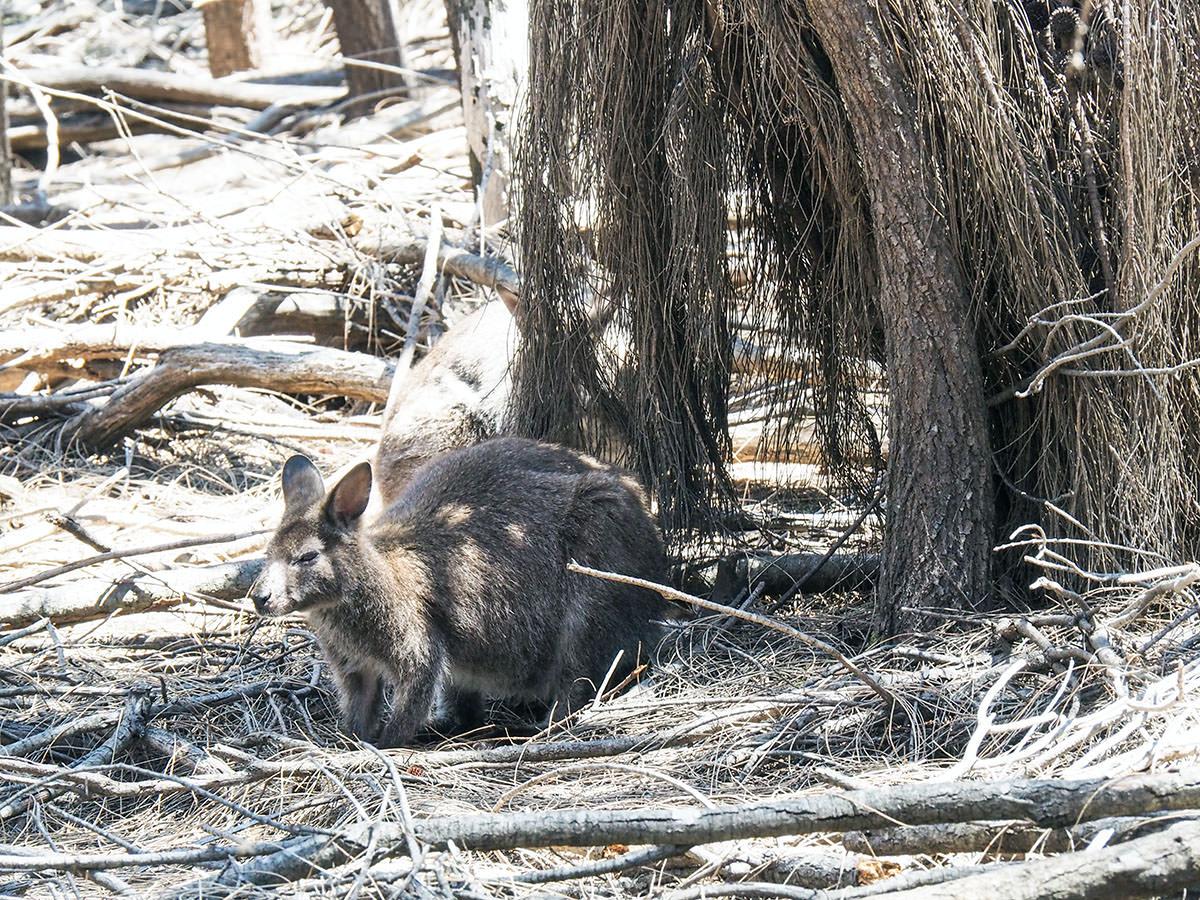 Wallaby neben einem Wanderweg auf Tasmanien