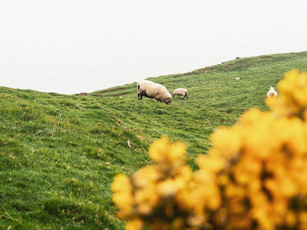 Schaf mit Nachwuchs