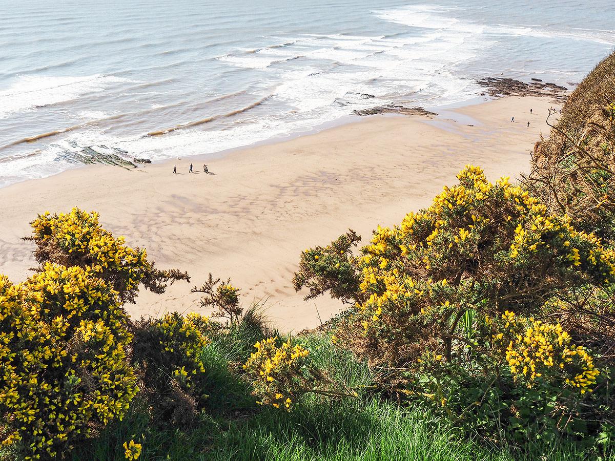 Blühender Ginster an der englischen Südküste