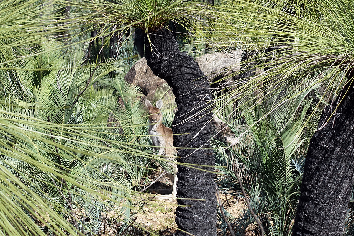Känguru auf dem Bibbulmun Track