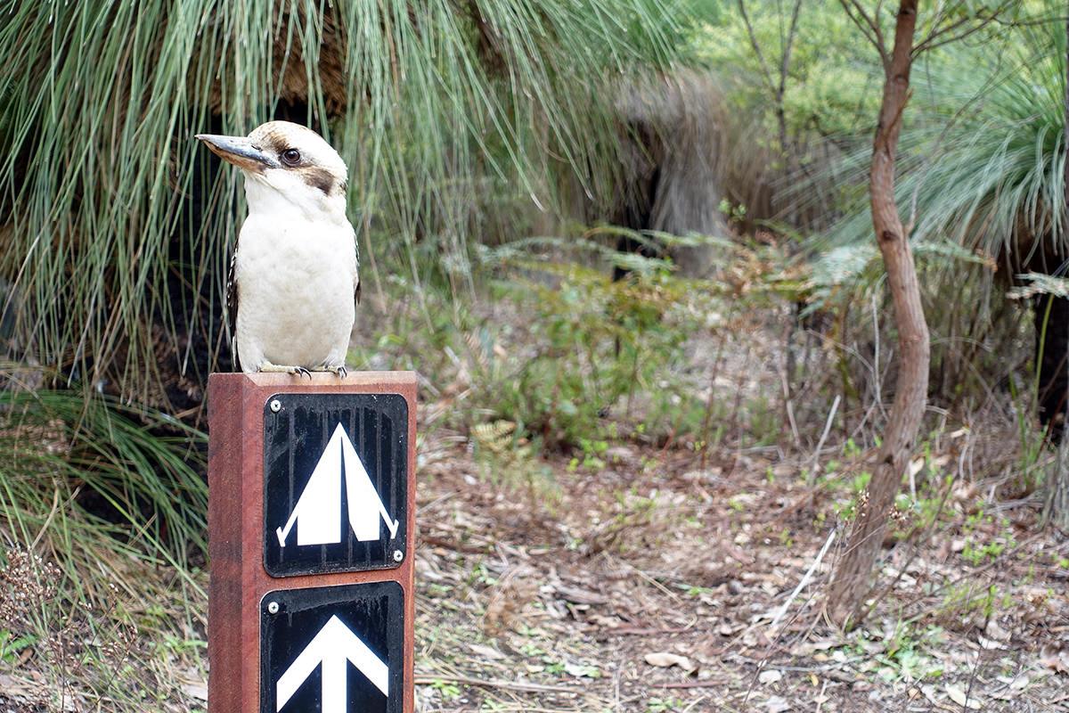 Kookaburra in Westaustralien