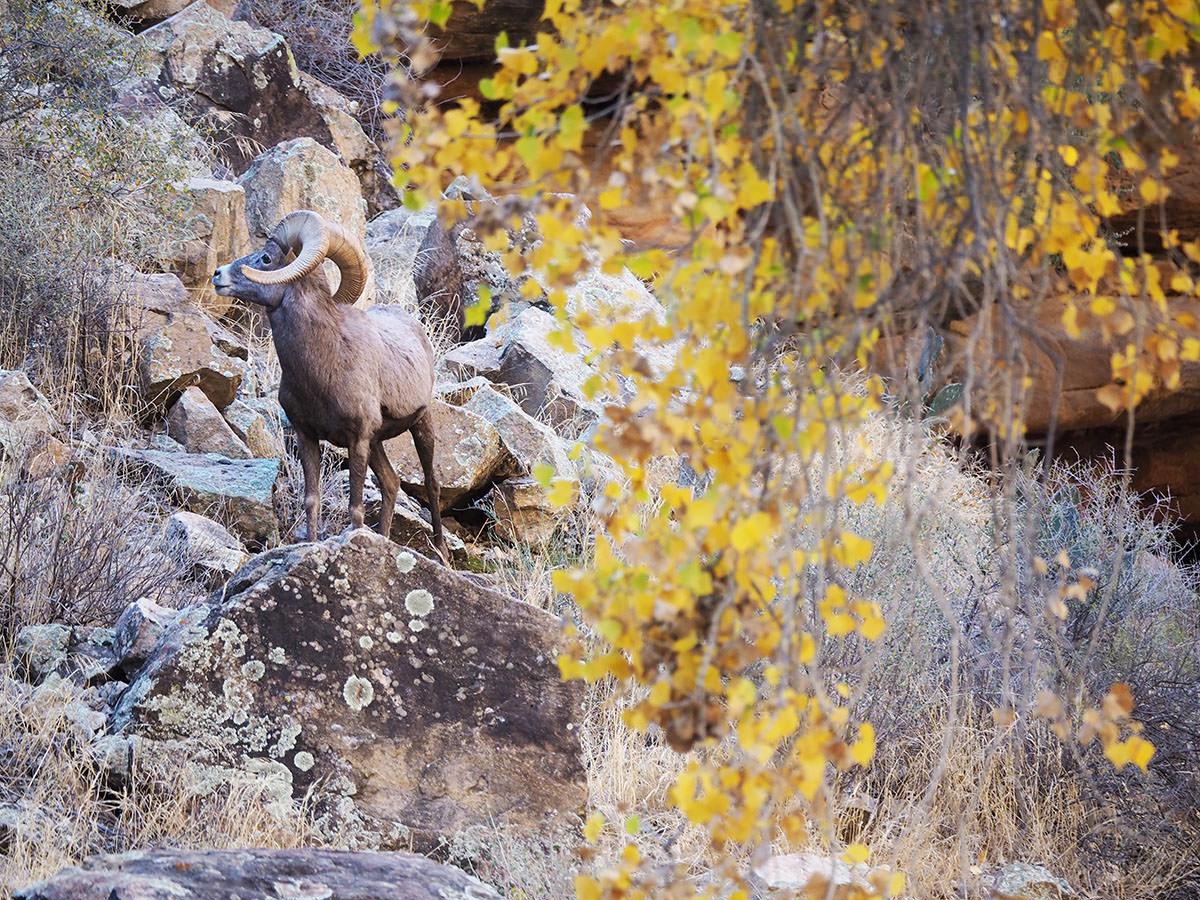 Dickhornschaf im Grand Canyon