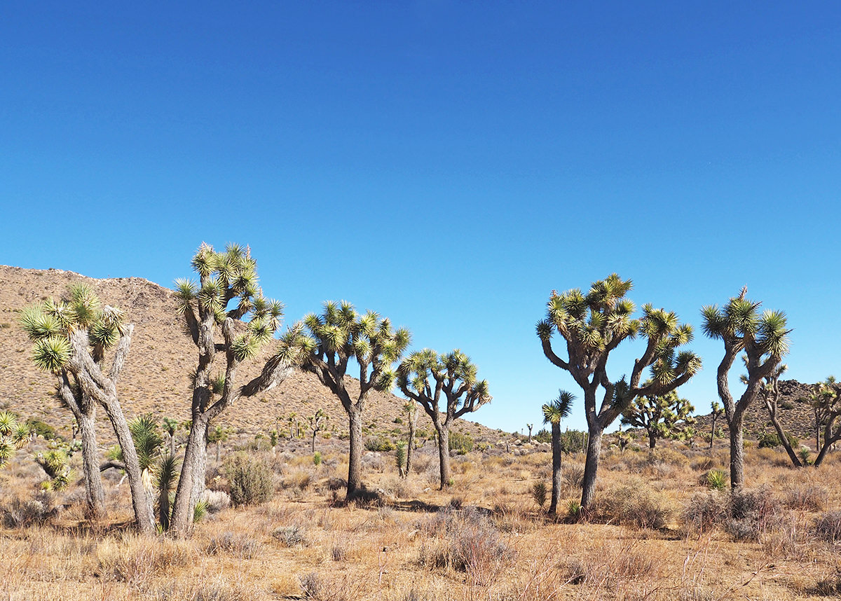 Trekking auf dem California Riding and Hiking Trail im Joshua Tree Nationalpark