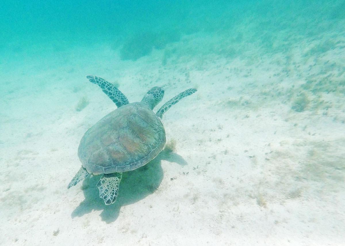 Meeresschildkröte am Ningaloo Reef