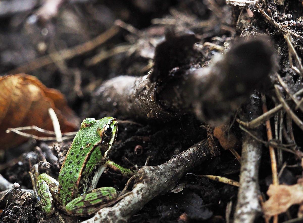 frosch in der natur in brandenburg