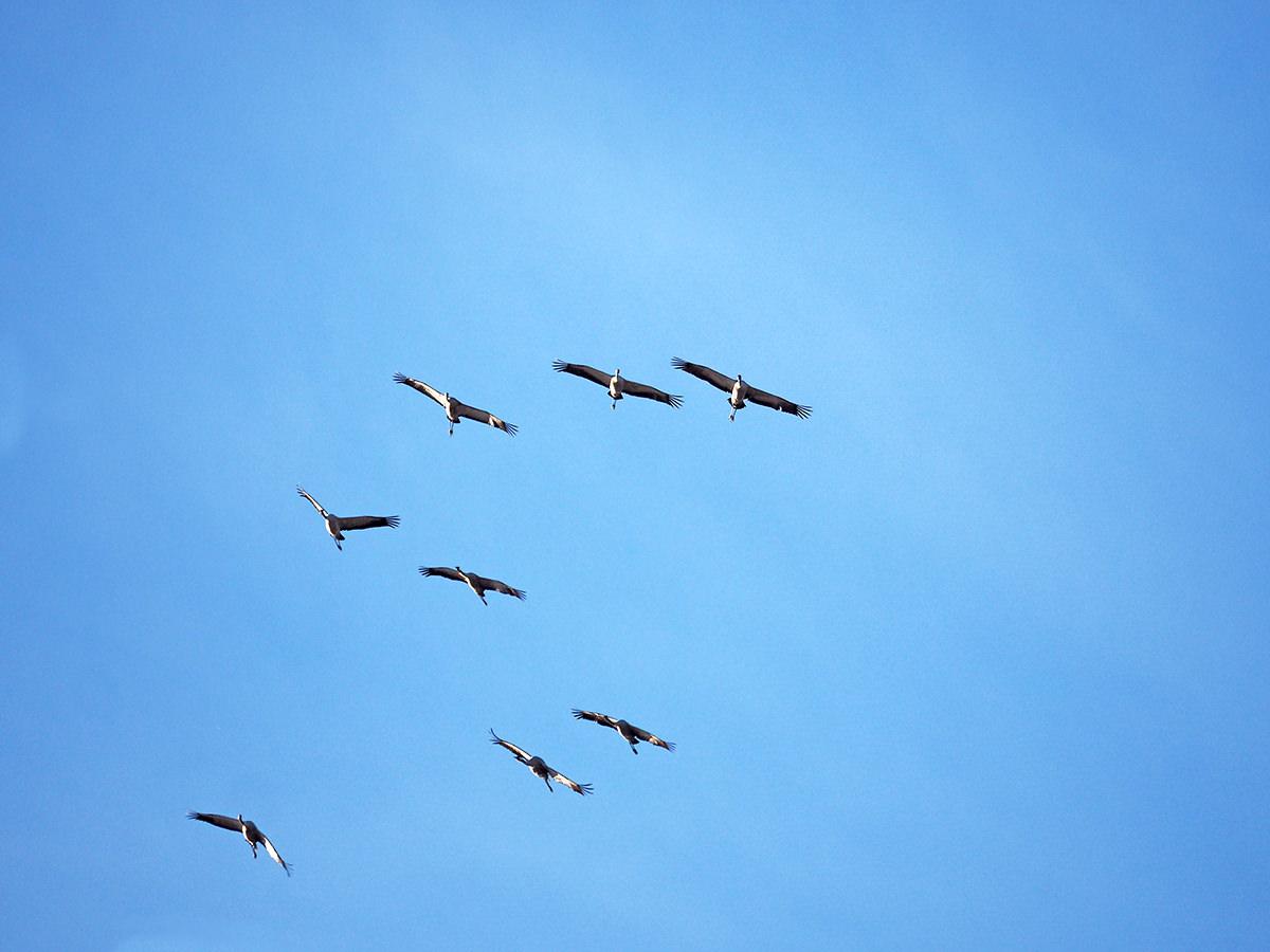 kraniche fliegen ueber die uckermark