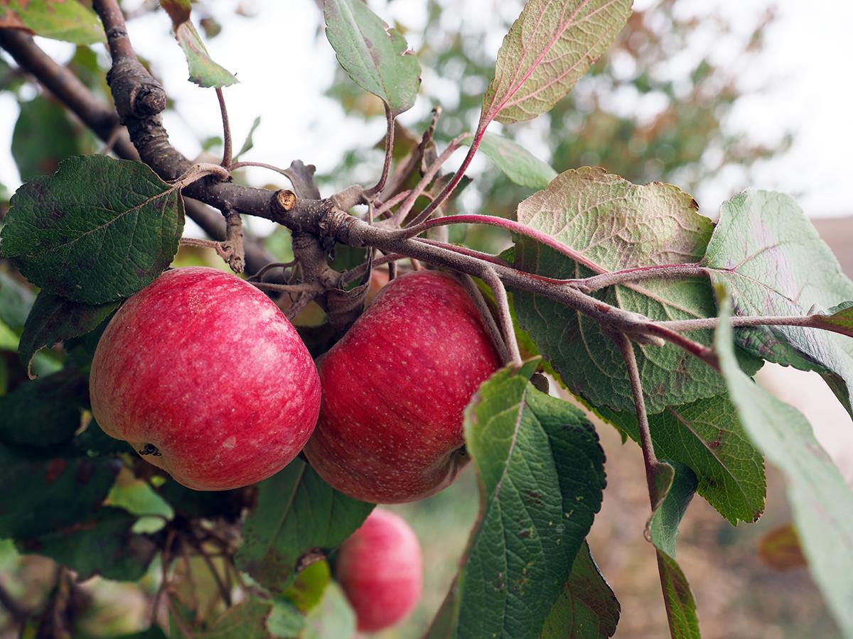 aepfel brandenburg herbst