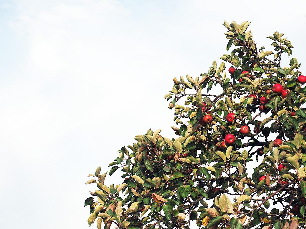 apfelbaum brandenburg herbst