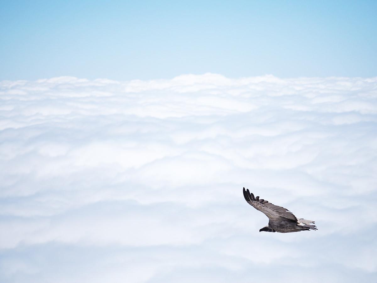 drakensberge cape vulture