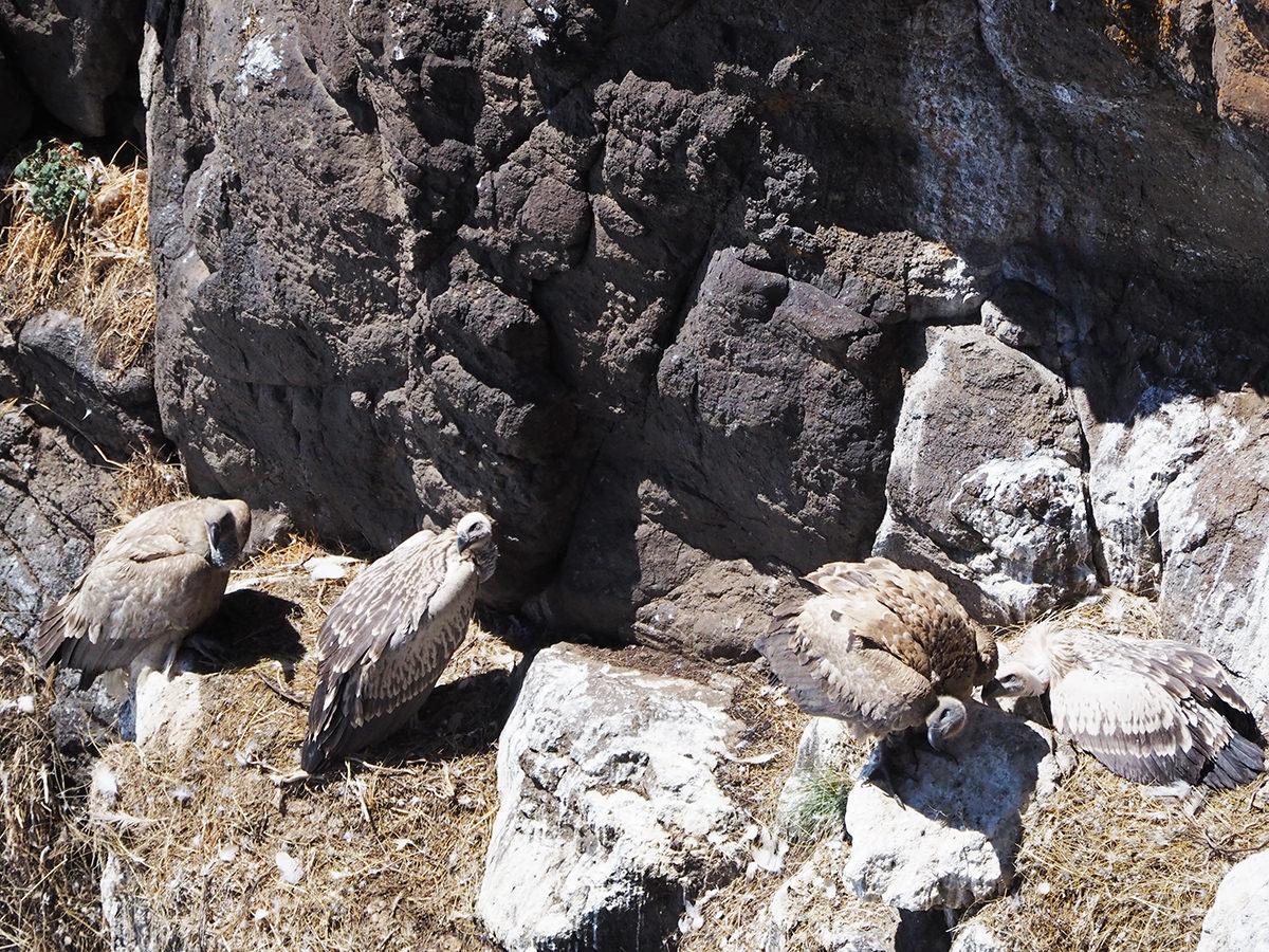 drakensberge geier